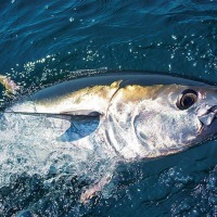 "Bluefin tuna: government give go ahead for ""citizen science"" fishery"
