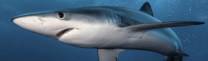 SHARK HUB UK: Anglers and Scientists, together as equals